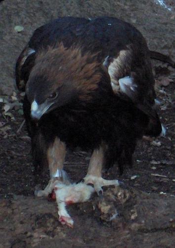 Eagle eating meat